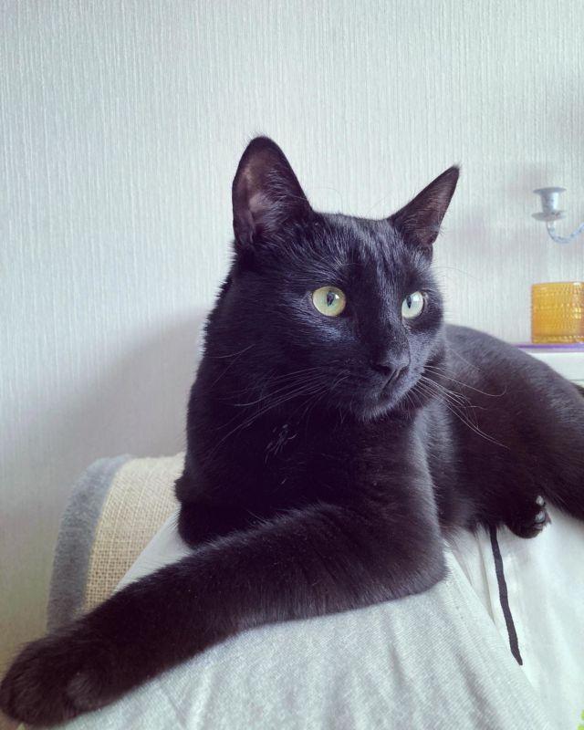 KISSAGRAM 🐈⬛  Nappi-kissa tulee meille viikonlopuksi hoitoon! Mun instagram saattaa siis muuttua viikonlopun ajaksi kissagramiksi 🤭😍  Napilla on aivan ihana persoona - en ole ikinä tavannut samanlaista kissaa ☺️   Nappi rakastaa olla seurassa ja lähellä. Hän on aina kaikessa mukana ja jopa tiskauksen aikana hän istuu vieressä ihmettelemässä 😁  Nappi juttelee paljon ja tykkää leikkiä piilosta. Ulkoilu on hänestä ihan parasta ja hän menee valjaissa kuin koira - on välillä vaikea pysyä edes perässä 😀  Kasvit ja varsinkin palmut ovat hänen mielestään kivoja järsittäviä ja kasvit pitää aina piilottaa Napin tullessa kylään 🌱  Öisin hän käpertyy viereen nukkumaan ja hän herättää aamulla kaikki jotka nukkuvat hänen mielestään liian pitkään esim. antamalla tassusta tai hellästi puremalla 😀  Nappi on maailman ihanin kissa - rakastan! Hänellä pitäisi olla ehdottomasti oma instagram-tili 😃💕